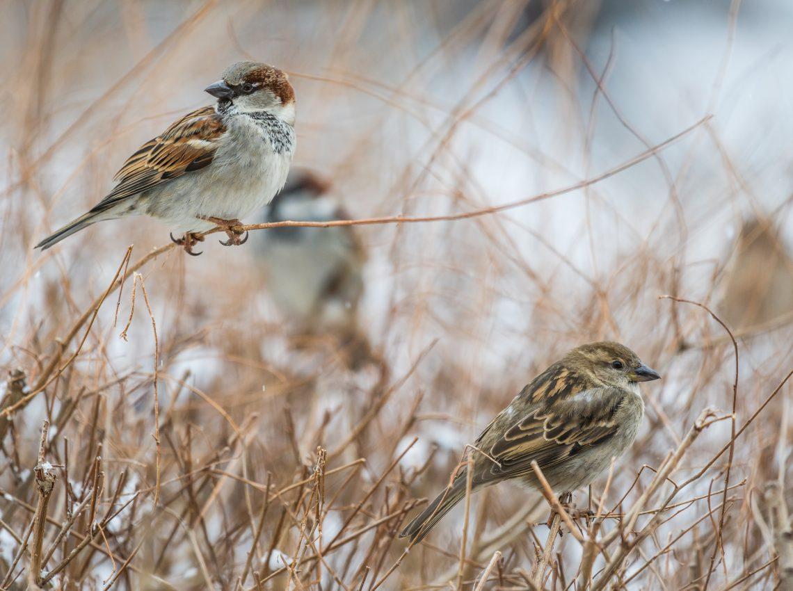 Birds In Grass